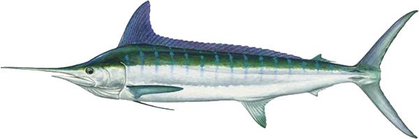 cabo marlin fishing