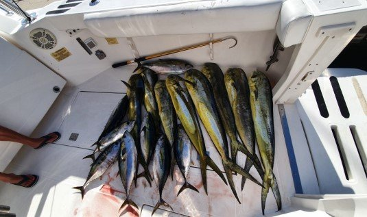 Lots of Tuna and Mahi in Cabo San Lucas